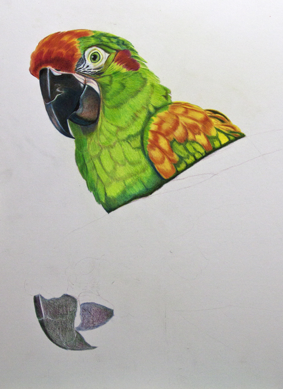 Drawn parakeet colour pencil Arlenepowers RedFront Colored Pencil