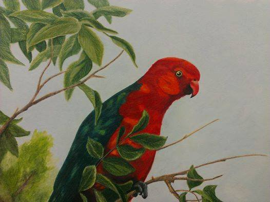 Drawn parakeet colour pencil M Twitter: