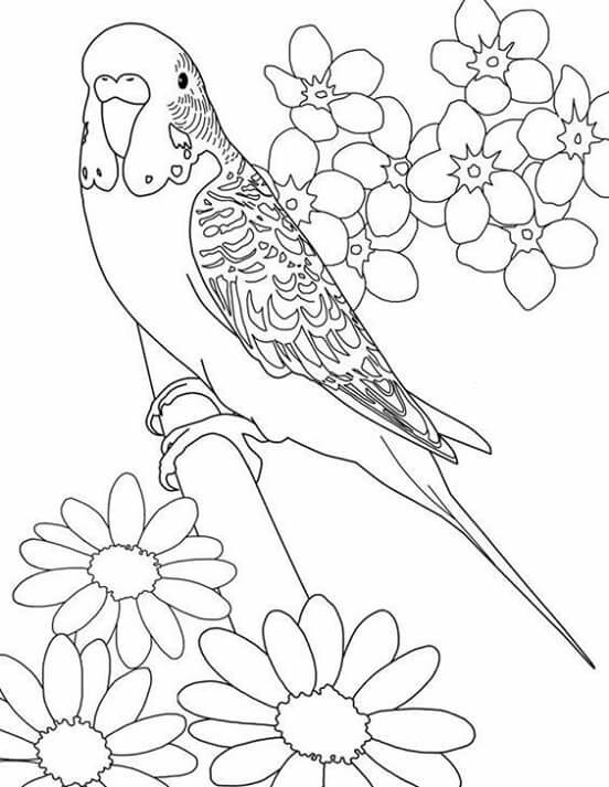Drawn parakeet colouring page Parakeet colouring Done page Find