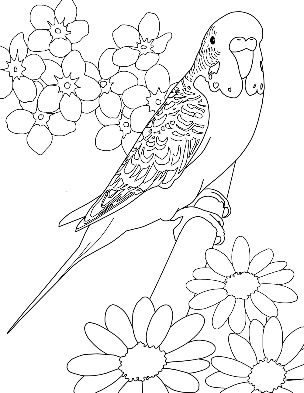 Drawn parakeet colouring page Colorcoop budgie color page