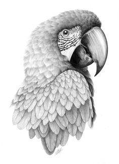 Drawn parakeet tattoos Gallery Parrot drawings Drawing Drawings