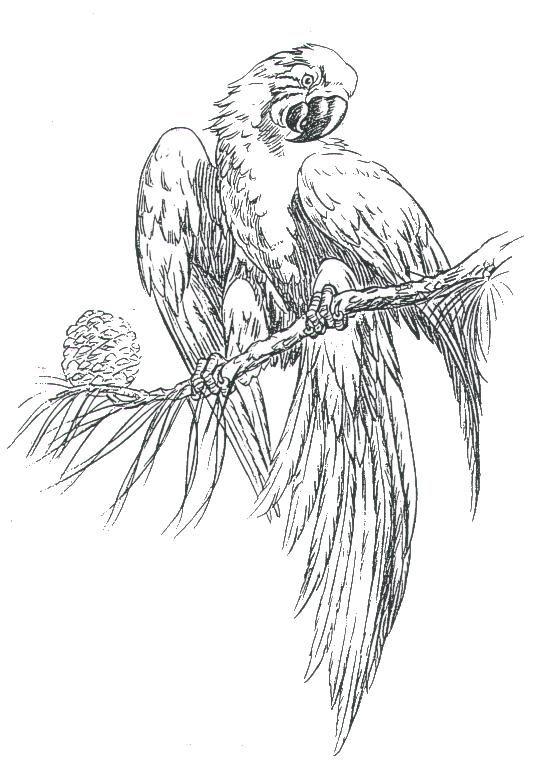 Drawn parakeet tattoos Best parrot Parrots images on