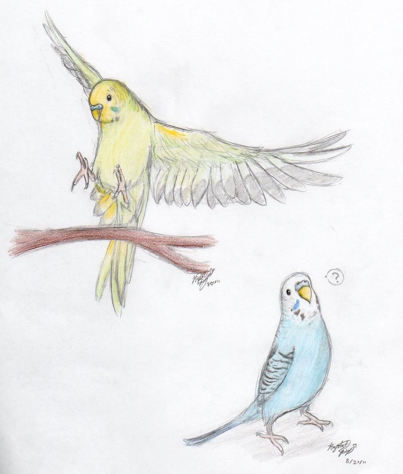 Drawn parakeet tattoos And  flying below rib