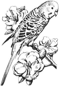 Drawn parakeet tattoos Drawing DrawforToffee parakeet Bird The