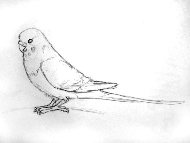 Drawn parakeet tattoos Kat Budgie Pinterest Choco 358