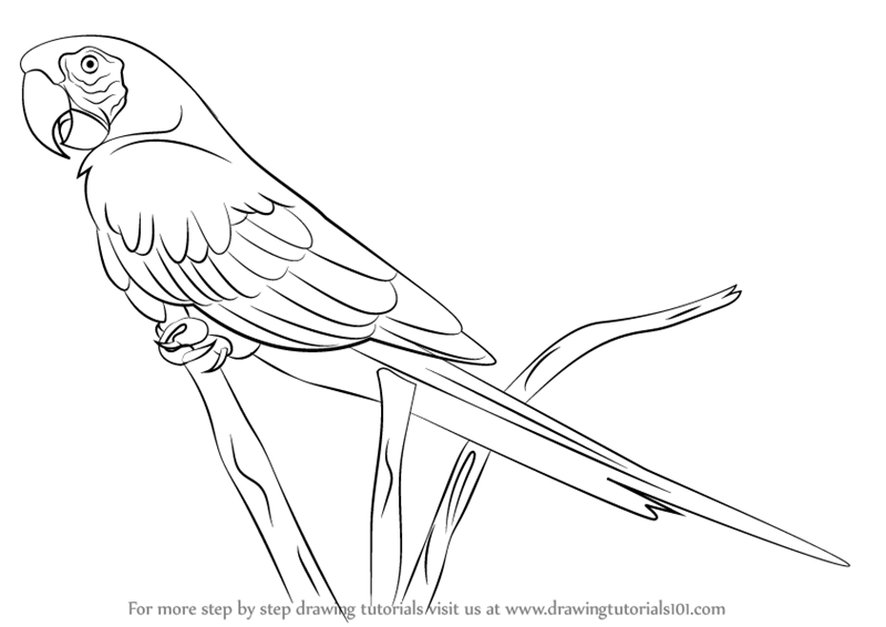 Scarlet Macaw clipart black and white #15