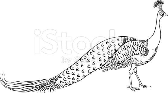 Drawn peacock Realistic Drawing Picture Drawing Peacock