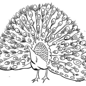 Drawn peacock coloring page Coloring of a play 14526