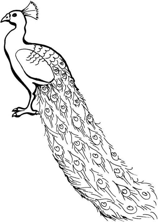 Drawn peacock coloring page 3 Peacock  Coloring Peacock