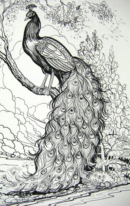 Drawn peacock mor #9