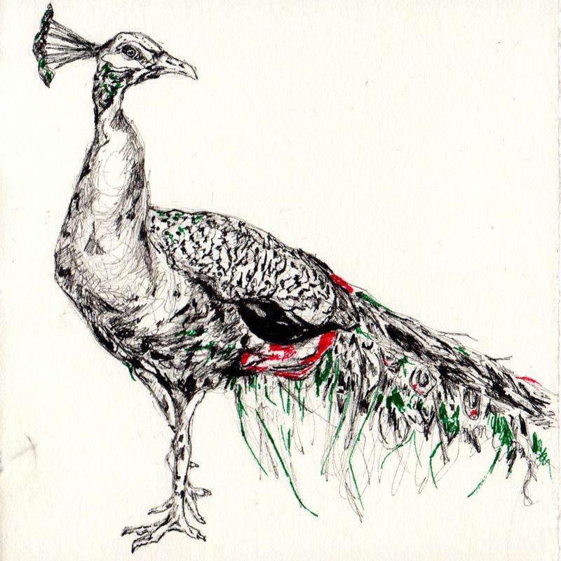 Drawn peafowl Peacock bird Papyrus Jennifer Tracy