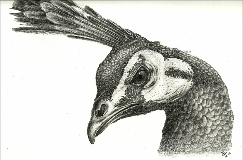 Drawn peafowl Image Unicorn's Posted Traditional Art