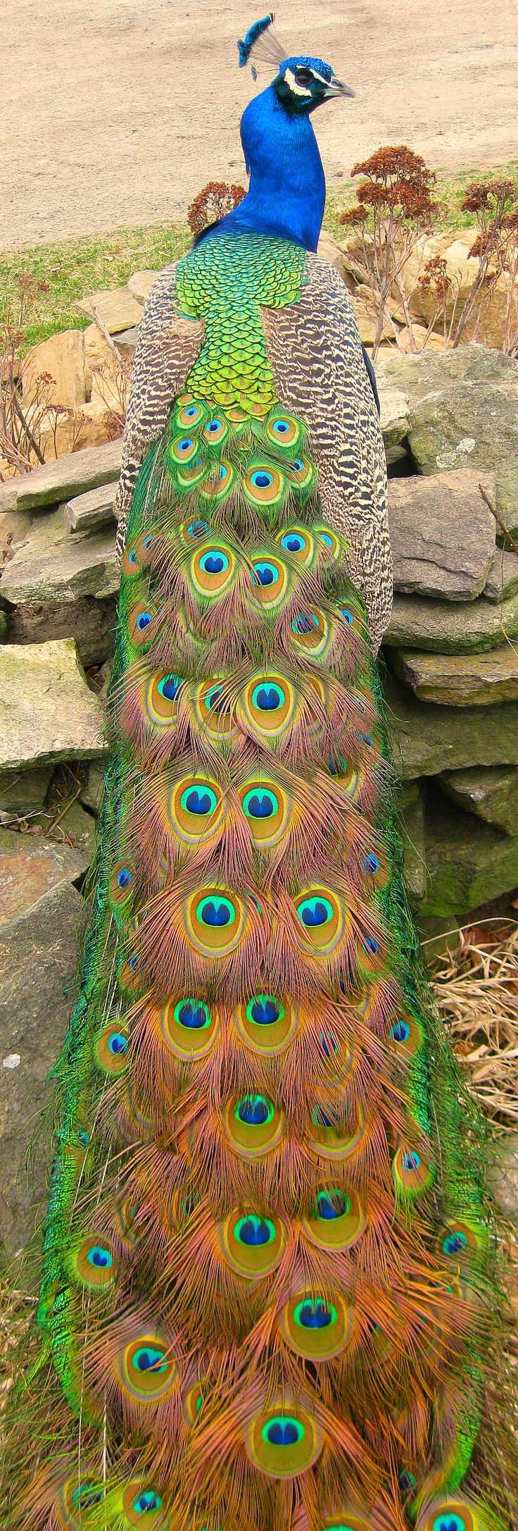 Drawn peafowl creative eye Best Birds are Peacock of