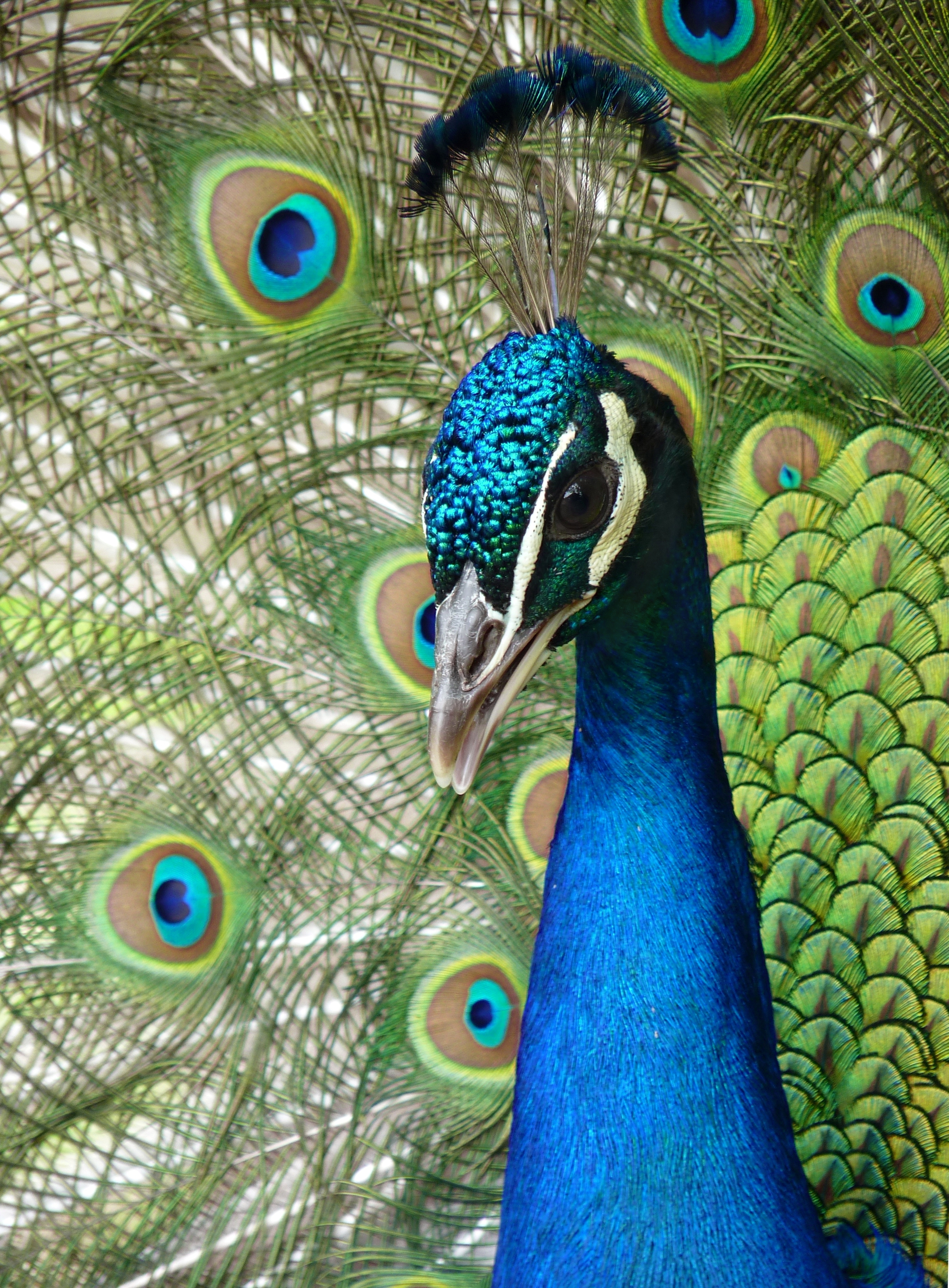 Peacock clipart front view Experience unique the at We