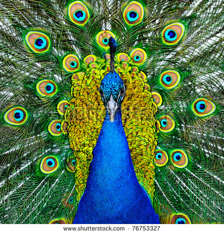 Peacock clipart front view Peacock Google Google view Search