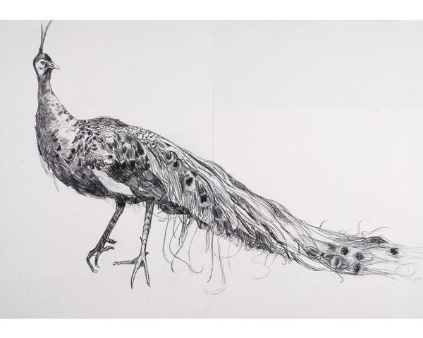 Drawn peafowl peafowl Scouller Peafowl Lara Peafowl Green