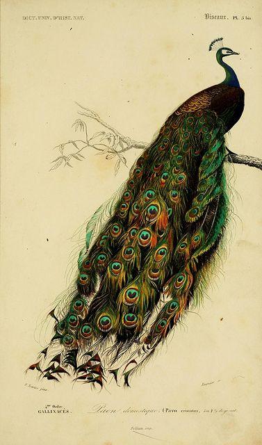 Drawn peafowl peafowl Peacocks on Peacocks Art on