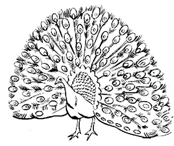 Drawn peafowl peafowl Coloring Plumage Stunning Plumage