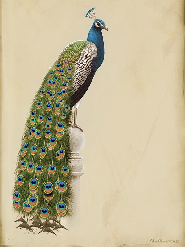 Drawn peafowl peafowl Drawing Peacock peacock Indian photo#6