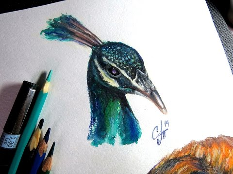 Drawn peafowl pencil drawing ( ) aquarelle pencil Peafowl