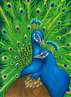 Drawn peafowl pencil drawing Vellum Bergsma Jody Prismacolor Tina