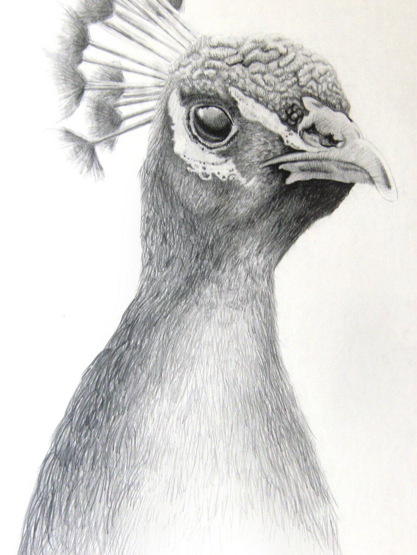 Drawn hawk shaded And Drawing Coloring Coloring Pencil