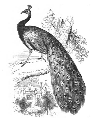 Drawn peacock peacock tail Natural library Wikisource Peacock online