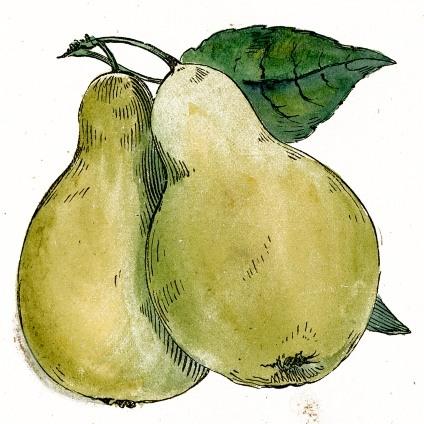 Drawn pear Pencil Drawing Realistic Art Pear