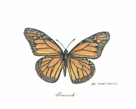 Drawn pen butterfly Monarch Monarch by Pantas pen