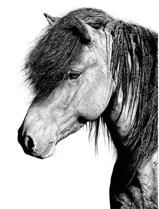 Drawn pen horse Google icelandic  ink ink
