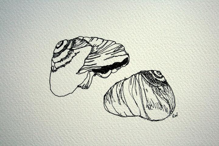 Drawn pen shell 4 5; Rosemary's Blog drawings