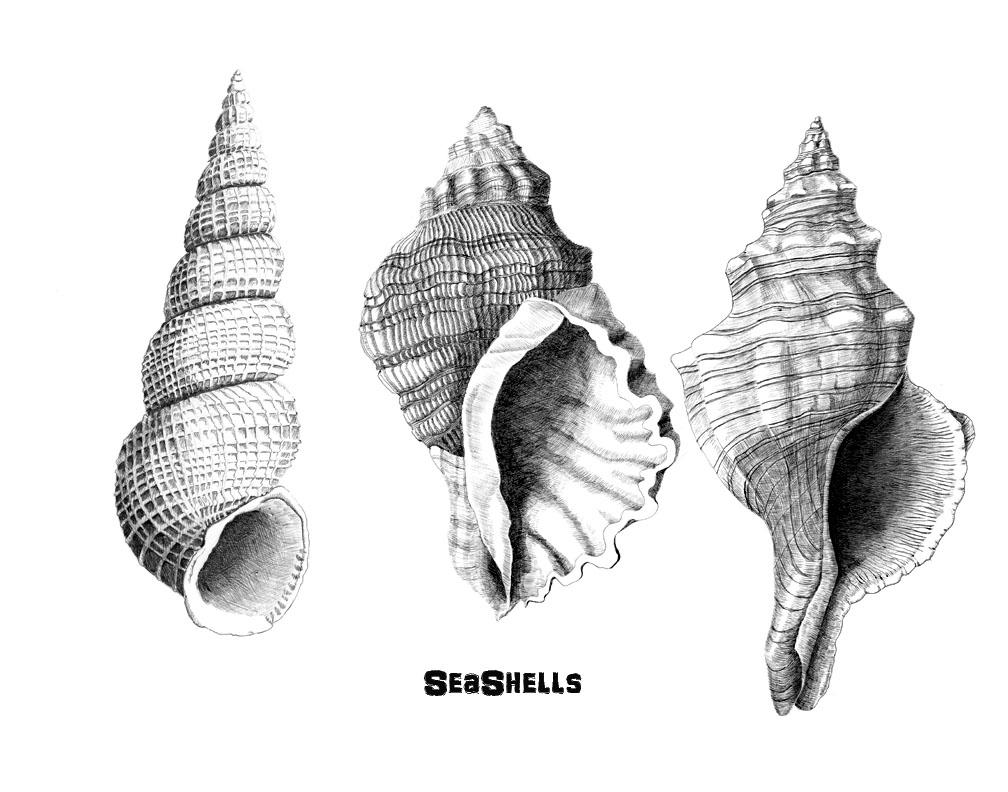Drawn shell pen drawing Arts – seashell Ink and