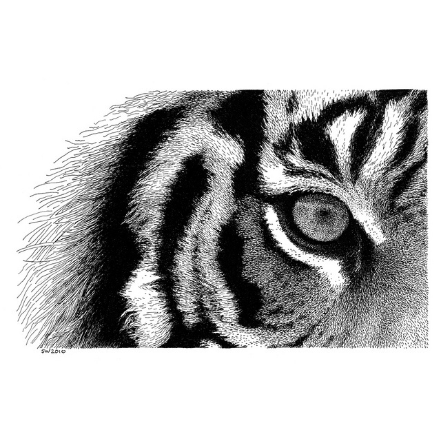 Drawn pen tiger Tiger to 221 list about
