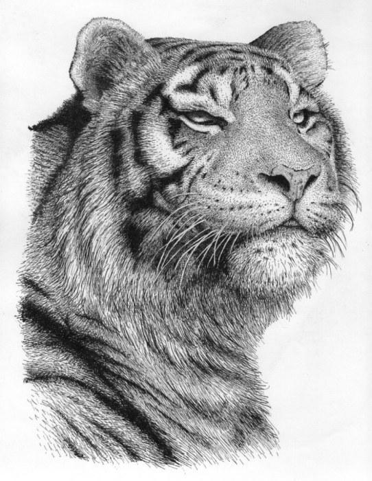 Drawn pen tiger Artwork: Animals Drawing Pen