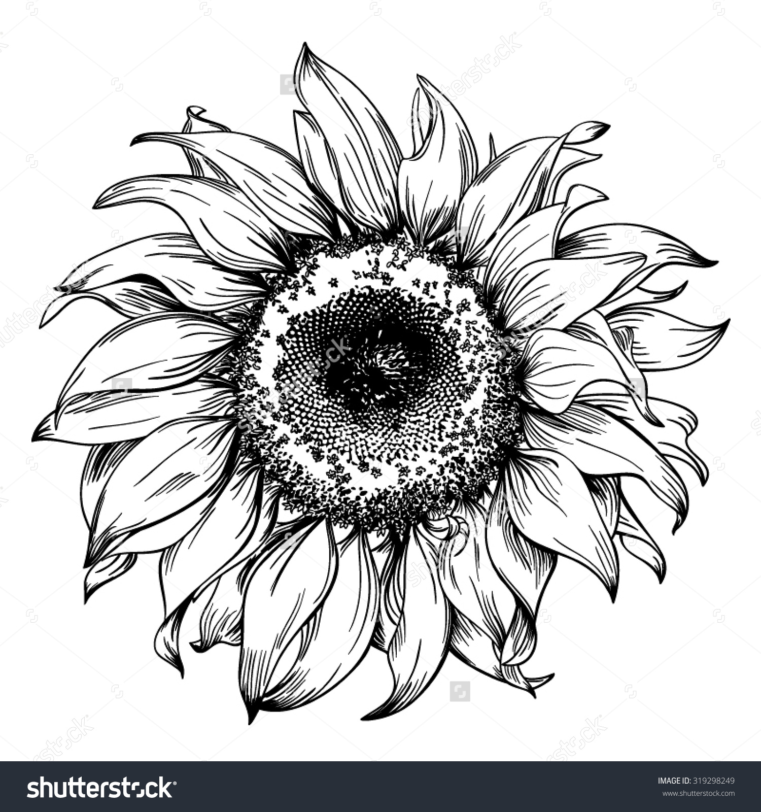 Drawn hand sunflower Sunflower And Vintage Realistic Pen