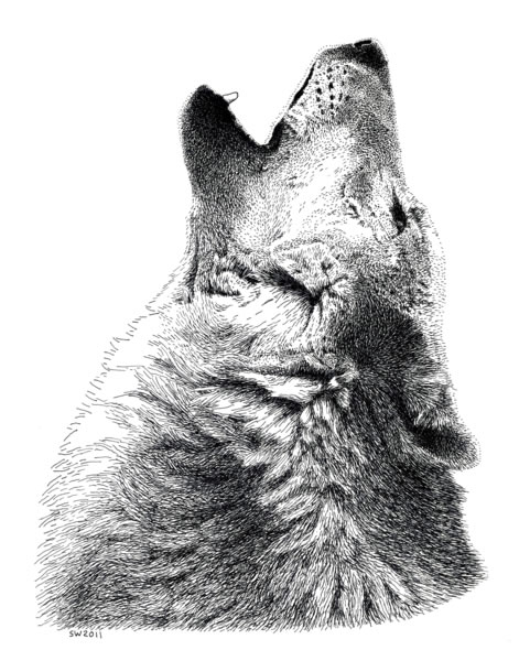 Drawn pen wolf Timber Howling and Timber and