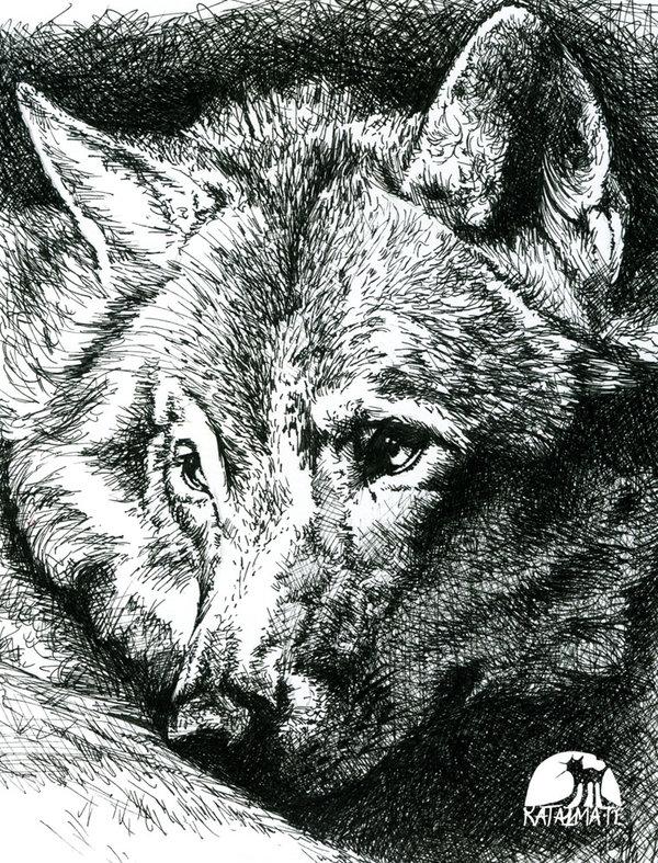 Drawn pen wolf Pen & Ink Wolves Inspurration