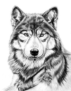 Drawn werewolf found Dave deviantART Drawing ~AmBr0 Wolf