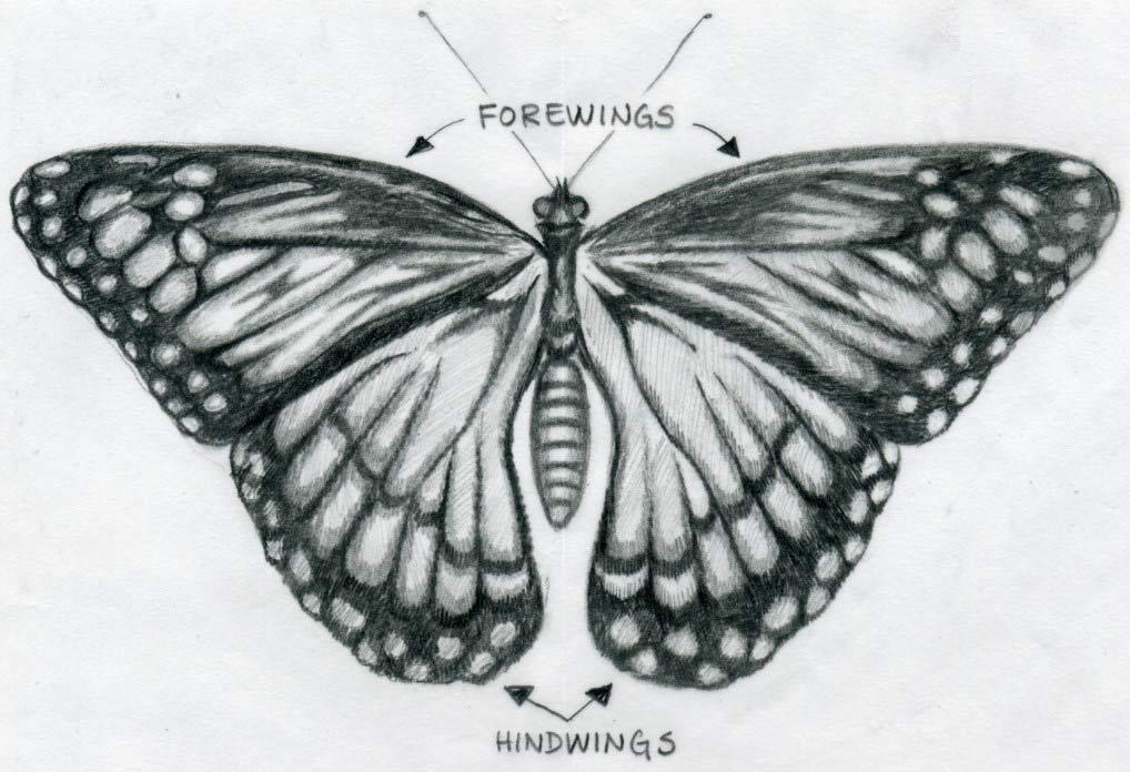 Drawn butterfly but beautiful Butterflies Pencil Pencil Drawings: Drawings