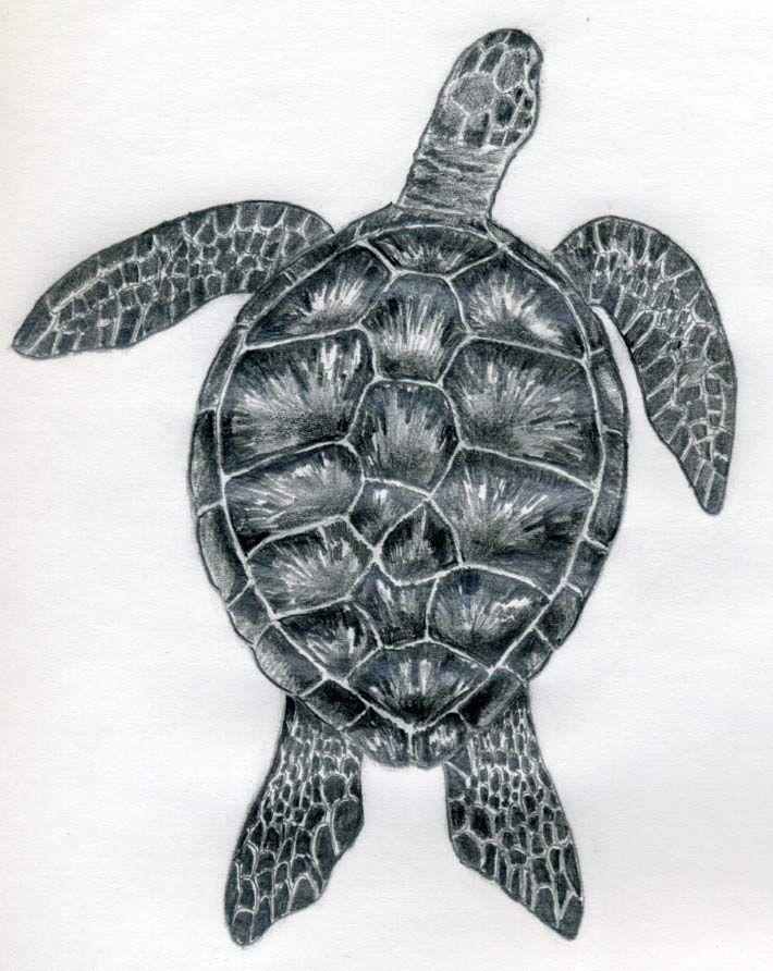 Drawn pencil turtle Bilder besten 326 want You'd