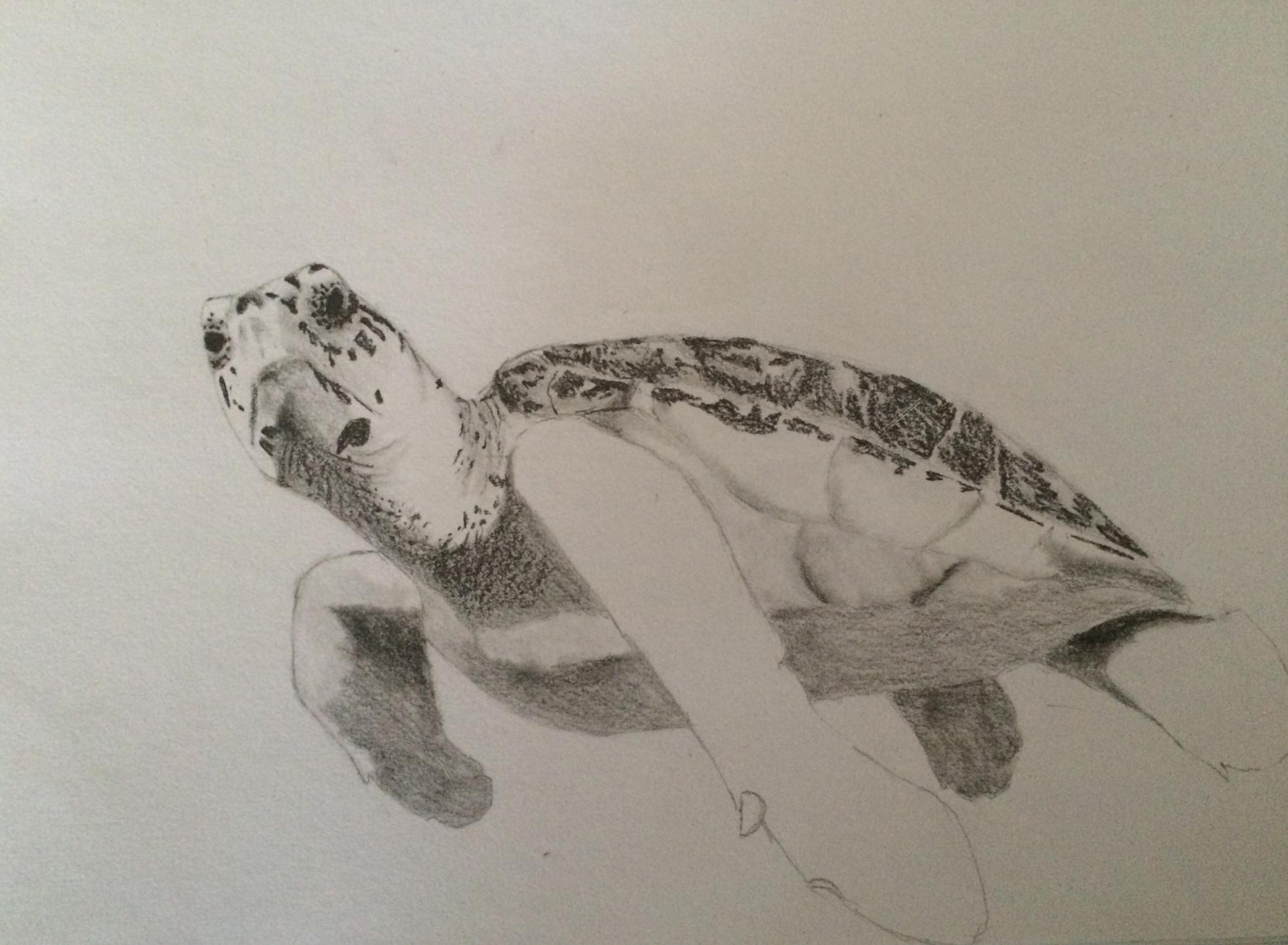 Drawn pencil turtle Details turtle drawing ilovenewbies more