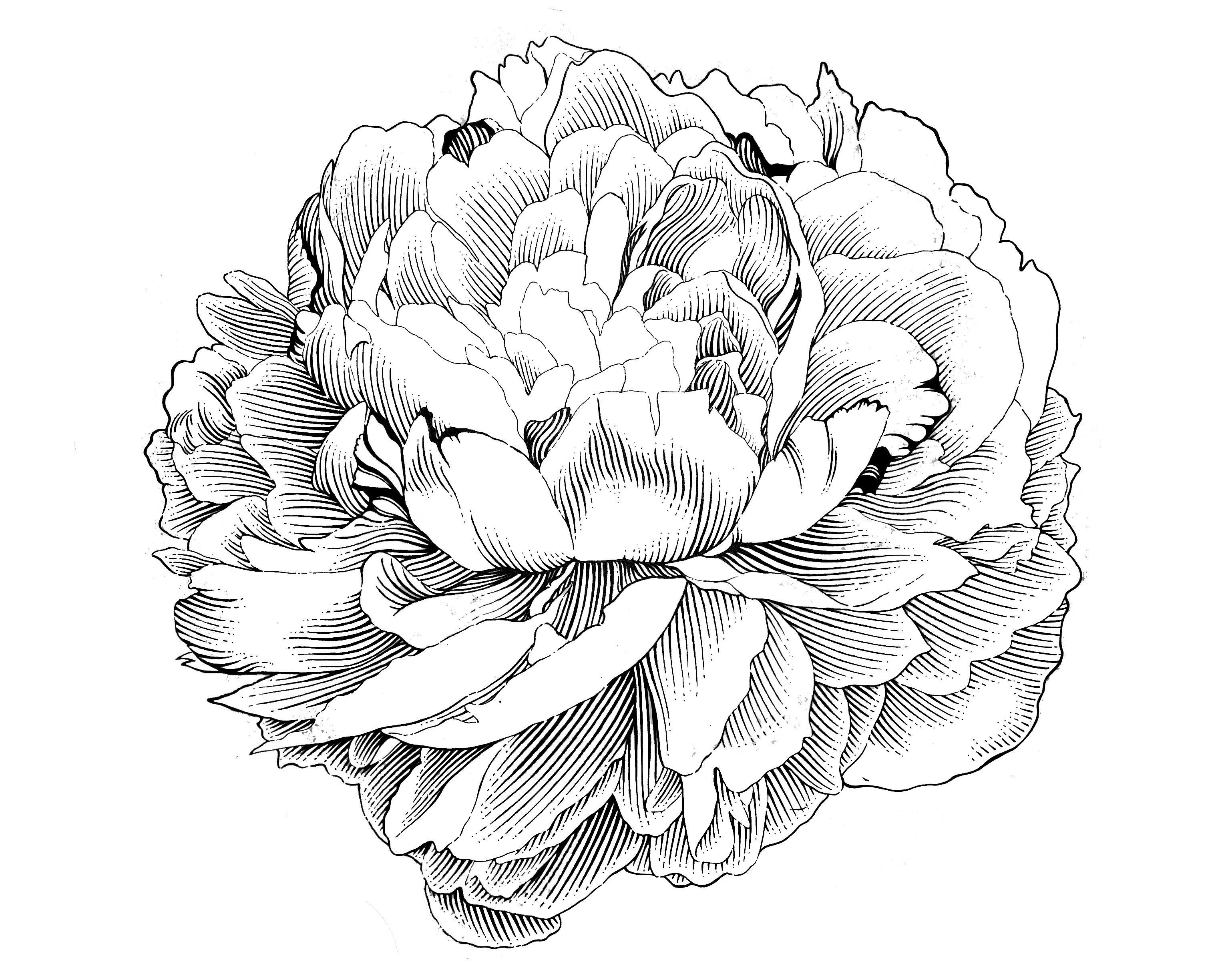 Drawn peony simple Illustration on com @deviantART deviantart