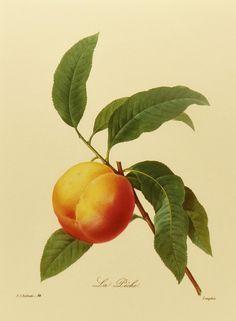 Drawn peony apricot tree 1960 Plate by Redoute armeniaca