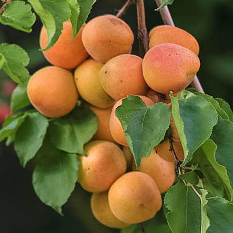 Drawn peony apricot tree GrowOrganic (Semi Bare Root Tree