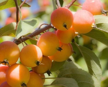 Drawn peony apricot tree  Peonies Apricot wallpaper Tree