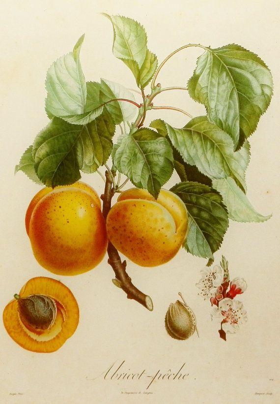 Drawn peony apricot tree Art Botanique best on Apricot