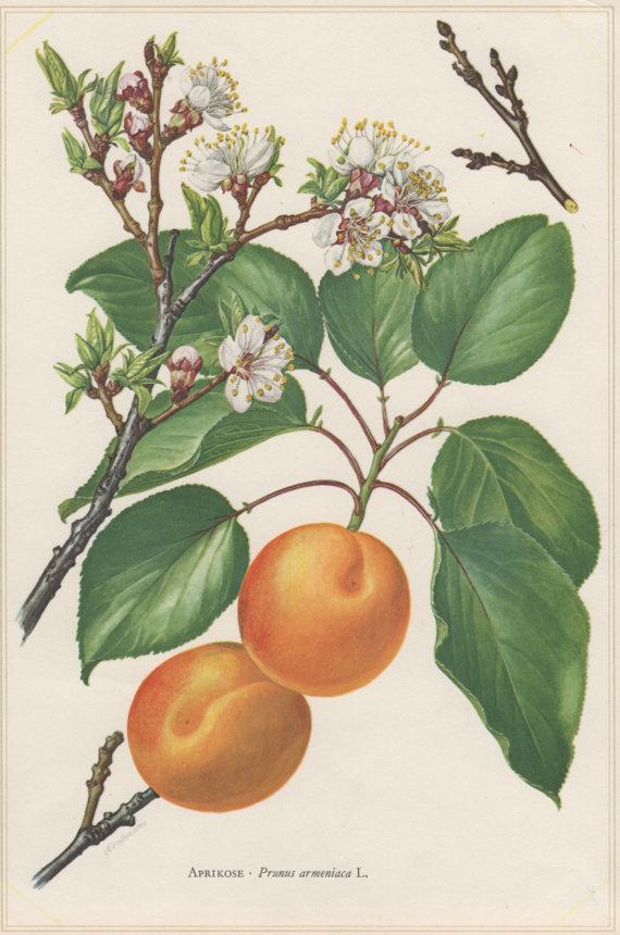 Drawn peony apricot tree Tree Print Prunus by Print