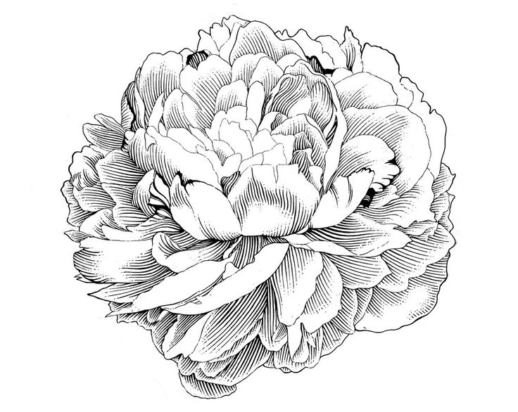 Peony clipart black and white #13