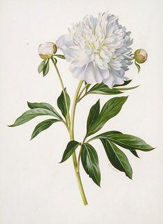 Drawn peony botanical Illustrations Peony botanical Jones From