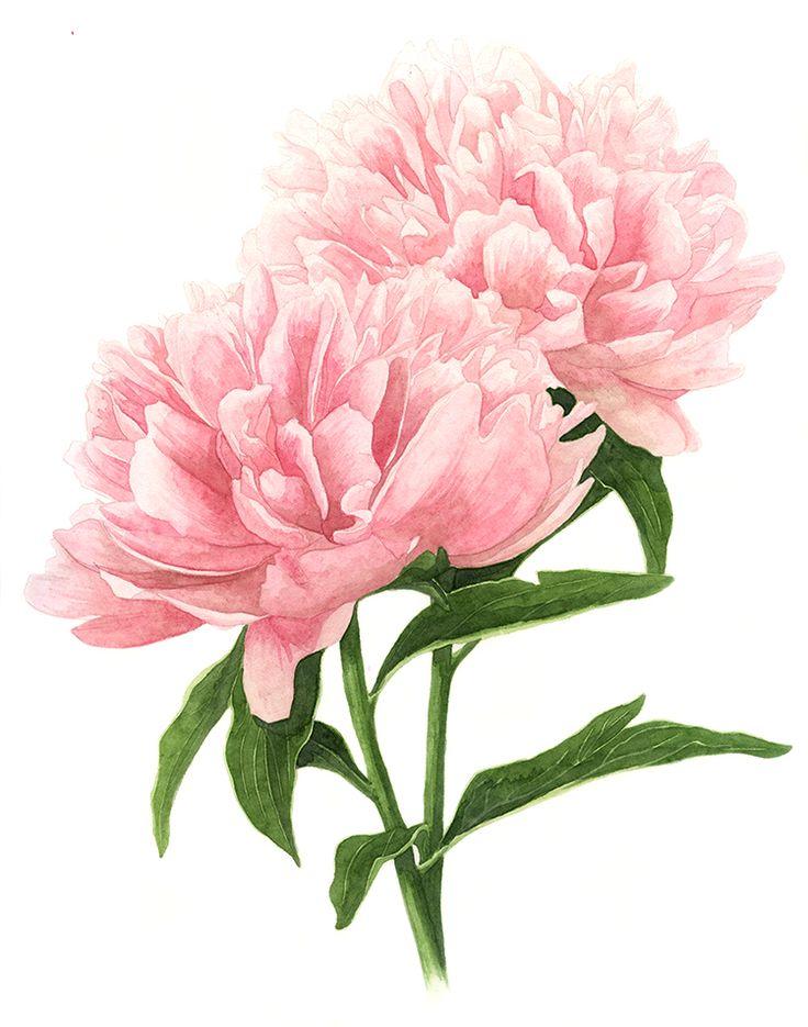Drawn peony botanical Double 20+ illustration Pink ideas